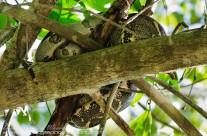 Boa Constrictor – asleep thankfully