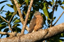 Double Toothed Kite