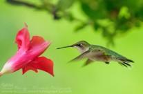 Ruby Throated Hummingbird (21)