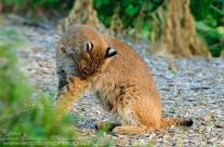 Bobcat (5)