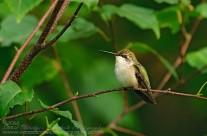 Sentry Duty – Ruby Throated Hummingbird