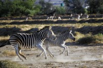 Zebra on the move