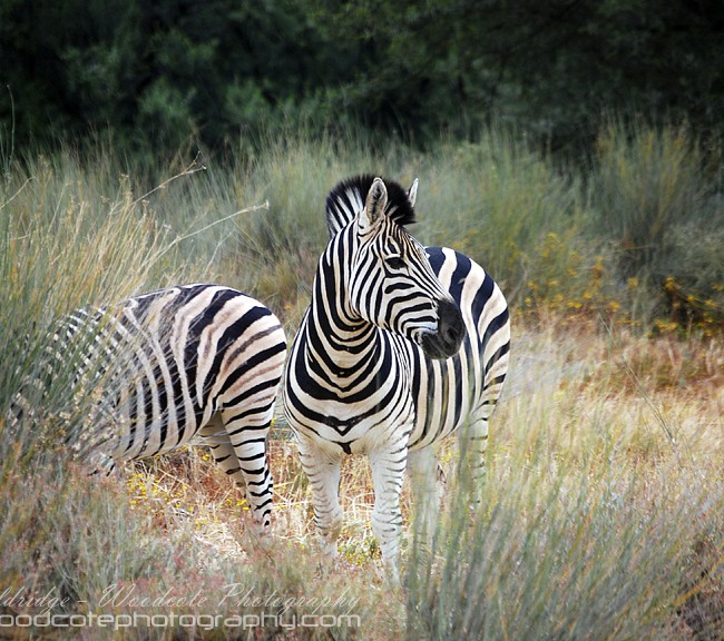 Zebra taking time out