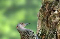 Northern Flicker Gallery