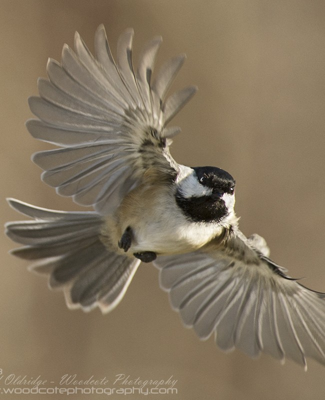 Black Capped Chickadee on the wing