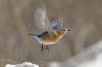 Bluebird flying 2