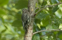 Juvenile Yellow Bellied Sapsucker