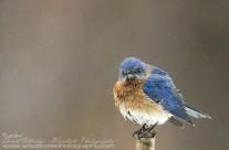 Bedraggled Bluebird