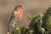 Purple Finches Gallery