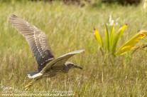 Black Crowned Night Heron – Mustique