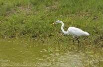 Great Egret – Mustique