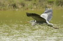 Great Blue Heron – Mustique