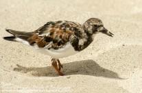 Sanderling – Mustique