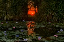 Last Light on the Lilies