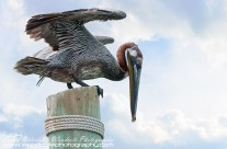 Brown Pelican on Virgin Islands