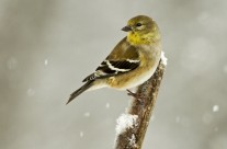 Winter American Goldfinch