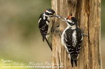 Downy Woodpeckers – feeding time